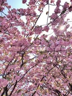 桜の写真・画像素材[3361828]