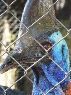 世界一危険な鳥ヒクイドリの写真・画像素材[1609704]