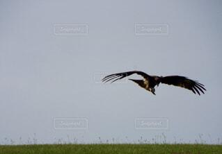鷹の低空飛行🦅の写真・画像素材[1622377]