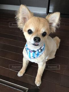 愛犬のチワワの写真・画像素材[1610392]