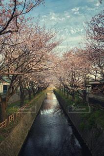 川沿いの桜並木の写真・画像素材[1089384]