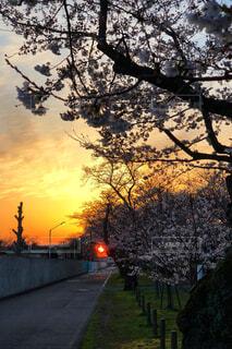 日の出と桜の写真・画像素材[1089385]