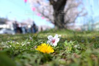 春の共演 タンポポとサクラの写真・画像素材[1096596]