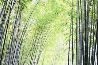 竹林の写真・画像素材[1627095]