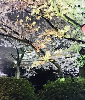 桜の写真・画像素材[1631262]
