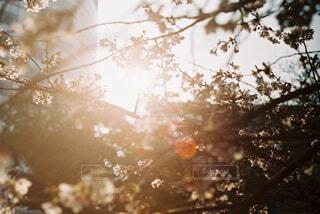 光に透けるの写真・画像素材[1613097]