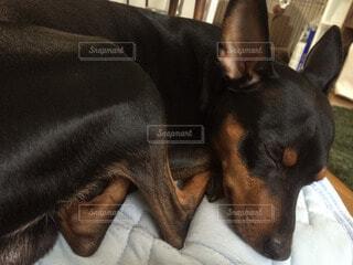 犬の写真・画像素材[54797]