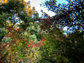 紅葉しかけの椛と空の写真・画像素材[1619994]