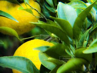 柑橘の香りの写真・画像素材[1620520]