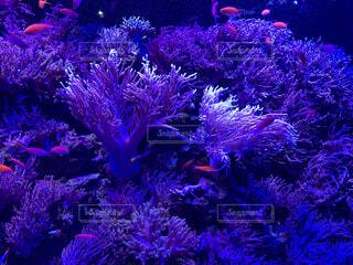 紫の珊瑚礁にピンクの魚の写真・画像素材[1702360]