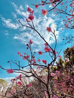 梅の木の写真・画像素材[1796251]