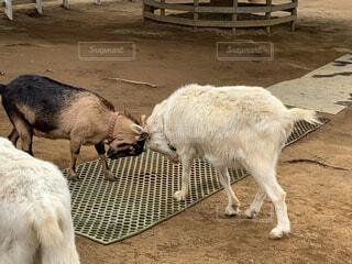 ヤギの喧嘩の写真・画像素材[2017852]