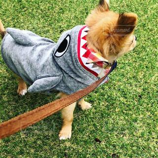 芝生の上の犬のチワワの写真・画像素材[1614987]