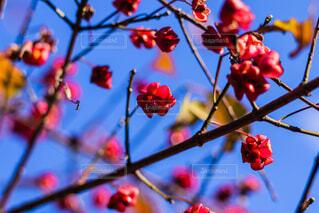 木からぶら下がってりんごの写真・画像素材[1681111]