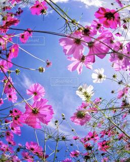 空とコスモスの写真・画像素材[1626697]