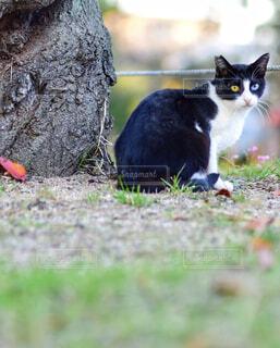 オッドアイな猫の写真・画像素材[1629635]