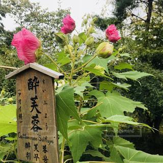 植物にピンクの花の写真・画像素材[1617967]