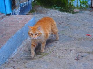 オレンジと白猫が水に歩いています。の写真・画像素材[1618374]