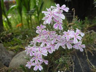 ピンクの花の写真・画像素材[1243620]