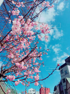 澄み渡る青空と梅の写真・画像素材[1619657]