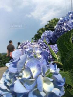 紫陽花の写真・画像素材[1619705]