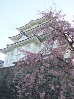 小田原城と桜の写真・画像素材[1620418]