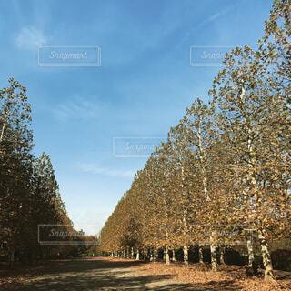 大きな木の並木道と秋晴れの写真・画像素材[1631491]