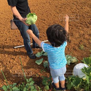 おじいちゃんと野菜の収穫の写真・画像素材[1620708]