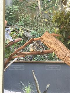 痒いコアラの写真・画像素材[1621711]
