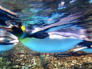 青い水の中を泳ぐペンギンの写真・画像素材[1631883]
