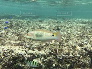 竹富島で見た熱帯魚の写真・画像素材[1623389]