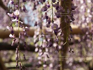美しい藤の写真・画像素材[1623472]