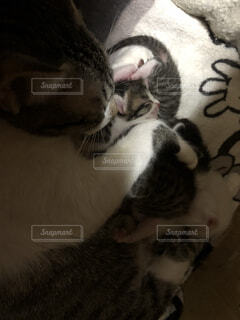 カメラを見ている猫の写真・画像素材[953841]