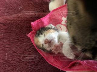 赤い毛布を着て猫の写真・画像素材[954045]