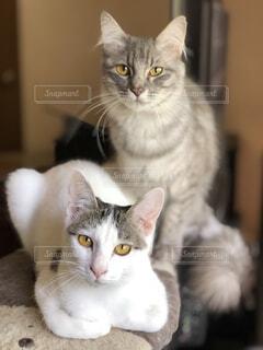 灰色と白猫がテーブルに座っての写真・画像素材[1150442]