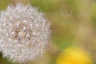 タンポポの綿毛の写真・画像素材[2083340]