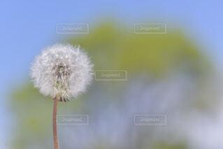 タンポポの綿毛の写真・画像素材[2083343]
