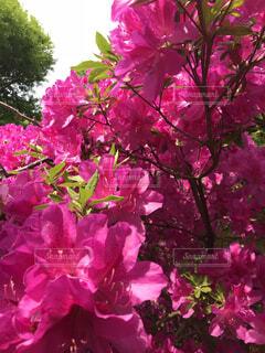 緑の葉と紫の花一杯の写真・画像素材[1629338]
