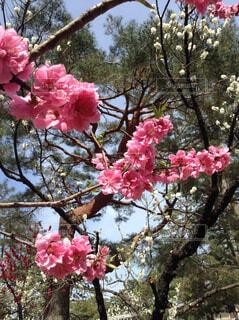 京都御所の桜の写真・画像素材[1745940]
