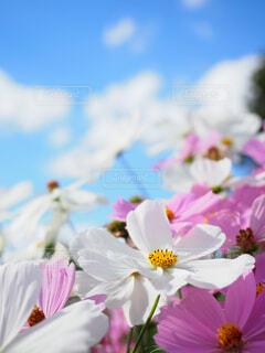 秋桜の写真・画像素材[1629370]