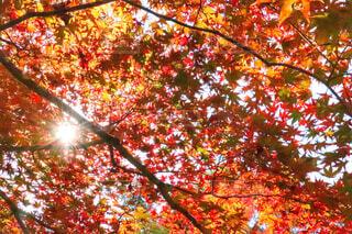 紅葉の間から差し込む光の写真・画像素材[1628778]