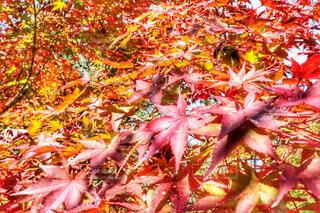 京都の紅葉の写真・画像素材[1628779]