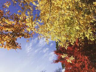 紅葉と空の写真・画像素材[1642770]