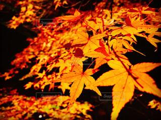 京都の紅葉の写真・画像素材[1642773]