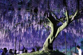 藤の花の写真・画像素材[1647665]