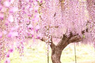 藤の花の写真・画像素材[1647668]
