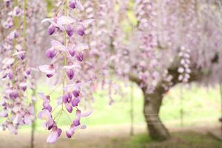 藤の花の写真・画像素材[1647669]