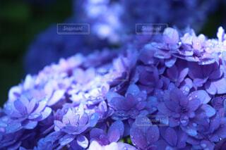 紫陽花の写真・画像素材[1647689]