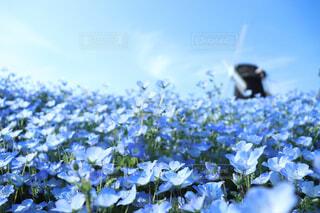 ネモフィラの花畑の写真・画像素材[1647710]