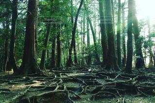 木の根道の写真・画像素材[1648864]